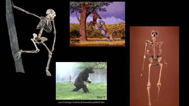 the evolution of bipedalism in lucy