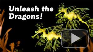 Unleash the Dragons! (Seadragons, that is ) | UCTV Blog